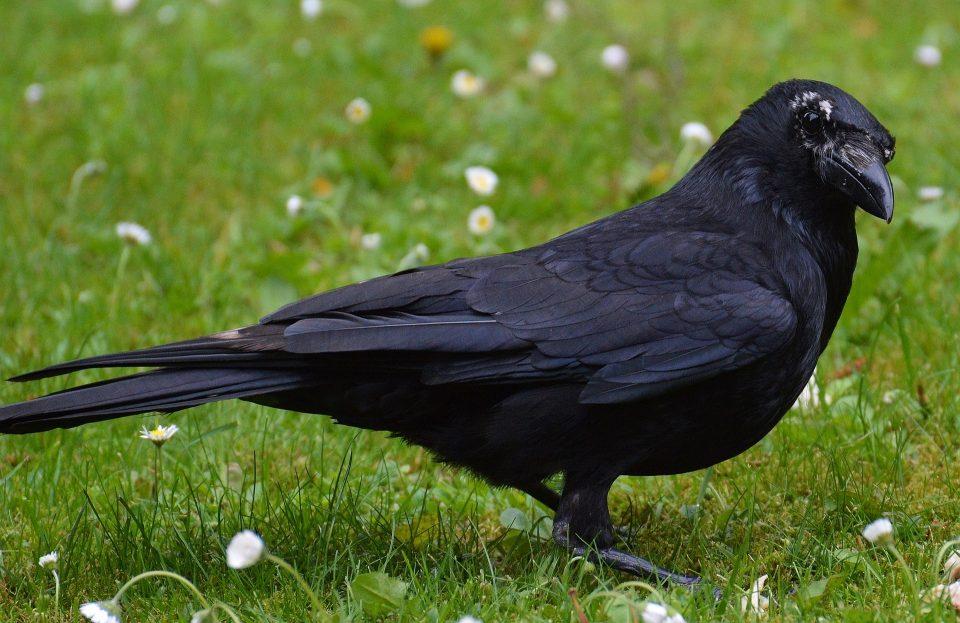 crow-767415_1920
