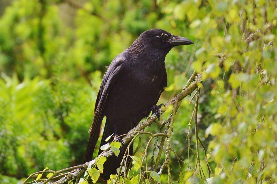 raven-812248_1280