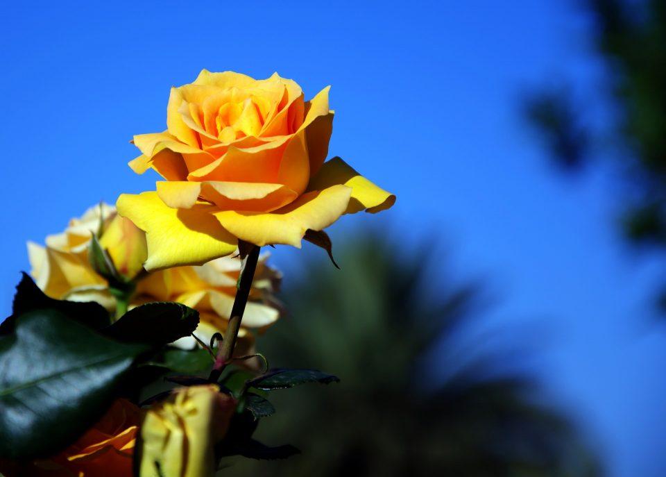 yellow-rose-1759191_1920